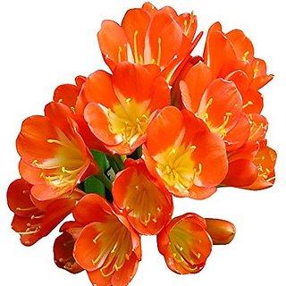 Futaba Clivia seeds - Orange - 10 Pcs