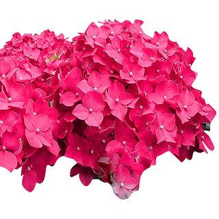 Futaba Bonsai Pink Hydrangea Seeds - 100 Pcs
