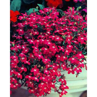 LOBELIA ROSAMOUND Fountain Rose - Lobelia Erinus rare seeds