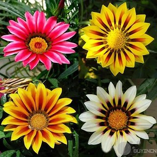 Gorgeous Gazania flower Seed 50 Seeds Medal Patio Garden balcony yard Bonsai