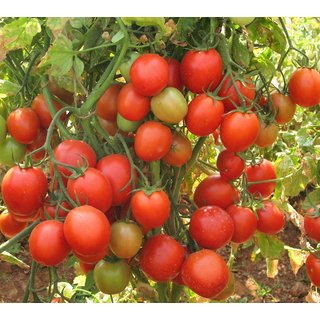 Farmers warm up to new tomato variety | Bengaluru News ...