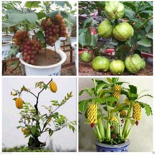 Bonsai Fruit Seeds Combo #3 (GUAVA - 10, STARFRUIT - 5, BANANA - 10, GRAPES - 5)