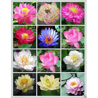 Buy rare mix lotus 15 colors waterlilly flower kamal nelumbo rare mix lotus 15 colors waterlilly flower kamal nelumbo nucifera 15 seeds mightylinksfo