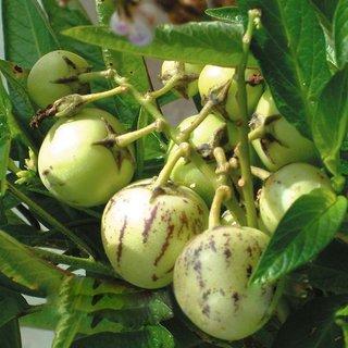 Futaba Thumb Sweet Melon seeds - 50 Pcs