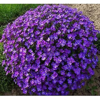Futaba Creeping Thyme Seeds -Purple - 30 Pcs