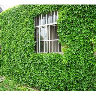 Futaba Green Boston IVY Seeds - 100 Pcs