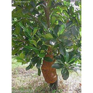 Rare Dwarf Sweet  Golden Nugget Jackfruit, jakka Fruit Seeds - 5 seed
