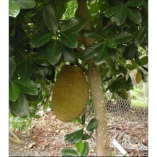 Rare Dwarf Sweet  Red Bartlett Jackfruit, jakka Fruit Seeds - 5 seed