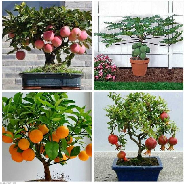 Buy Bonsai Fruit Seeds Pomegranate Orange Apple Papaya Combo Pack 1 Indoor Bonsai Online 250 From Shopclues
