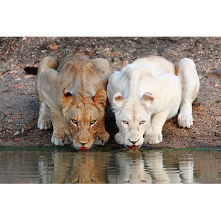 Tallenge - Golden Yellow And White Lion Drinkign Water Together At River - Large Size Unframed Rolled Digital Art Print On Photographic Paper For Home And Office Dcor (16x24 inches)