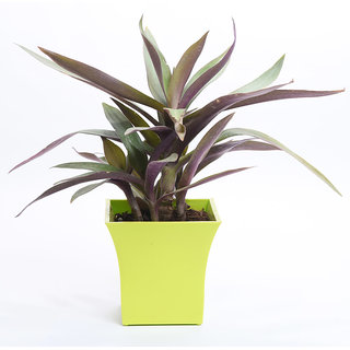 Sheel Greens Plant Combo For Gifting Him/Her