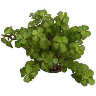 Zet Plant