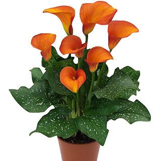 Futaba Calla Lily Seeds - Orange - 20Pcs