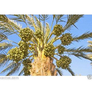 10 Medjool Date Palm Seeds, Pits, Phoenix dactylifera Large Fruit Mejhool Dates