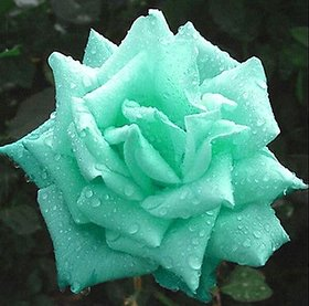 Green Rose plant seeds
