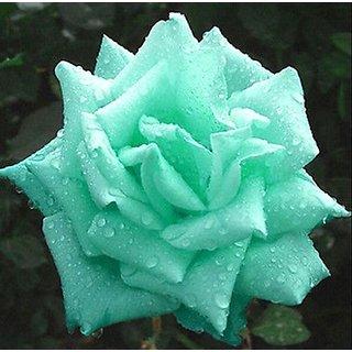 Green Rose plant seeds