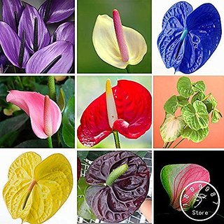 Buy Anthurium Seeds Balcony Potted Plant Anthurium Flower Seeds For Diy Home Garden Online Get 66 Off