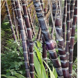 Futaba SugarCane Seeds - 100 Pcs