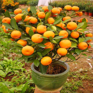 Seeds-5 Bonsai Mandarin Orange Indoor Bonsai Plants