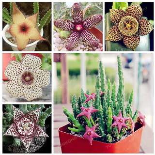 Stapelia Pulchella Seeds Lithops Mix Succulents Raw Stone Cactus Seeds