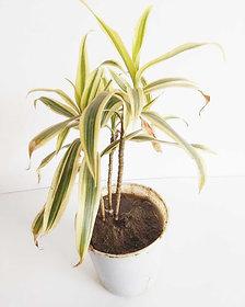 gold dust croton plant