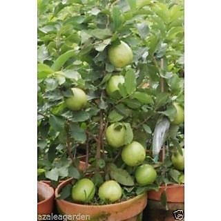 BONSAI GIANT THAILAND GUAVA FRUIT BLACK SEED 30 seeds