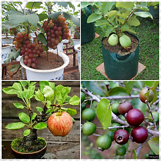 Bonsai Fruit Seed Combo Grapes Guava ,Apple, Strawberry Guava 5 seeds