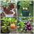 Bonsai Fruit Seeds Combo Packs -Grapes, Guava ,Apple, Strawberry (5 Seed Each)