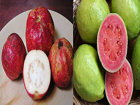 Bonsai Guava Two Variants Combo Apple Guava and Hafshi Guava -Pack of 30 seeds