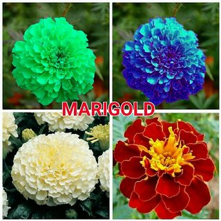 Marigold Seeds Combo - White Blue Green Red