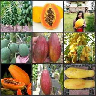 Combo Papaya 4 Varieties 5 Seeds Each Round,Dwarf,Golden,Red Good Seed
