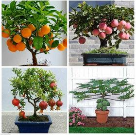 Bonsai Fruit 20 Piece Seed Combo  Orange Pomegranate Apple Papaya Seeds Pack