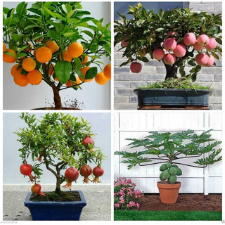 Bonsai Fruit 20 Piece Seed Combo  Orange Pomegranate Apple Papaya Seeds Pack