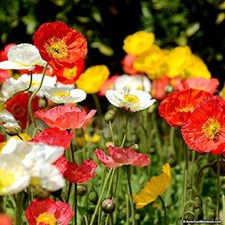Buy creative farmermixed colours california poppy flower seeds creative farmermixed colours california poppy flower seeds mightylinksfo