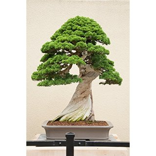 Imported Bonsai Seeds Juniper Tree Pack Of 5 For Indoor