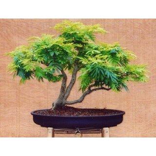 Bonsai Seeds Easy Bonsai Red Colour Imported Bonsai Seeds By Creative Farmer