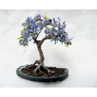 Bonsai Seeds Blue Jacaranda Imported Bonsai Seeds By Creative Farmer
