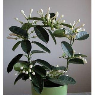 Bonsai Seeds Murrayya Paniculata Imported Bonsai Seeds By Creative Farmer