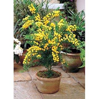 Bonsai Seeds - Brown Salwood Bonsai Tree Seeds Indoor Plants-By Creative Farmer