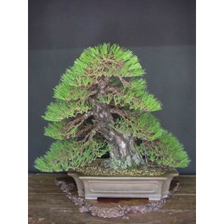 Imported Pinus Roxburghaii Bonsai Seeds -By Creative Farmer