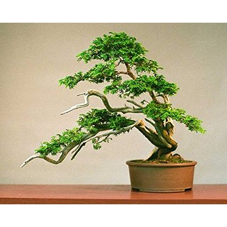 Imported Platycladus- Evergreen Coniferous Tree Bonsai Seeds -By Creative Farmer