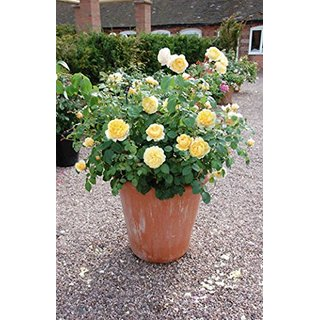 Imported Bonsai Seeds Yellow Roses For Containers Bonsai Seeds (Pack Of 5) Mported Growing Seeds With Instructions-by Creative Farmer