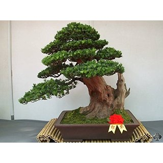 Bonsai Plant PodocarpusMacrophyllus Bonsai Seeds (Pack Of 5) ForIndian Climate-by Creative Farmer