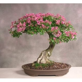 Bonsai Plant Mimosa Bonsai Seeds (Pack Of 5) ForBeginners-by Creative Farmer