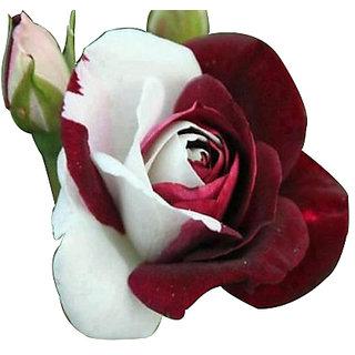 Red white rose flower seeds rose seeds seeds red white rose flower mightylinksfo