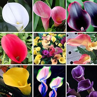 Colorful Calla Lily Flower Seeds Home Garden Plants