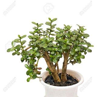 buy jade plant crassula variety online get 50 off. Black Bedroom Furniture Sets. Home Design Ideas