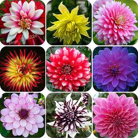 Dahlia flowers Quality Seeds
