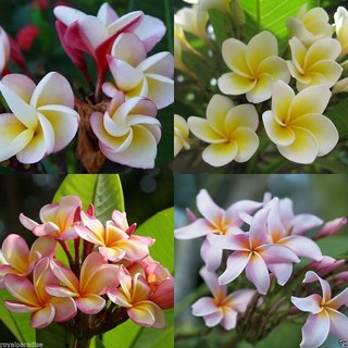 Plumeria Mixed Varieties Fragipani Mixed Combo Seeds Pack