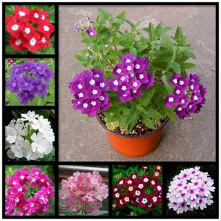 Verbena Flower - Hybrid Mix - Mixed Varieties for Beautiful Garden